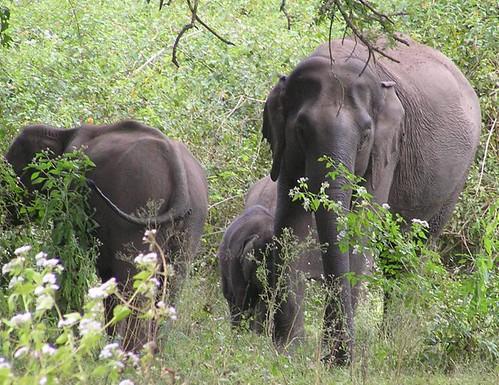 Fri, 12/14/2007 - 08:22 - Wild elephants in Mudumalai Wildlife Sanctuary. Credit: CTFS