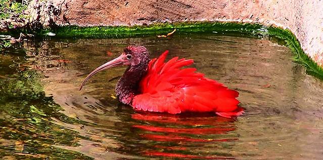 Brasilien-Iguassu-Parque das Aves, Roter Ibis - 1
