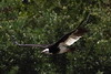 White Headed Vulture, Trigonoceps occipitalis, Witkopaasvoel by Peet van Schalkwyk