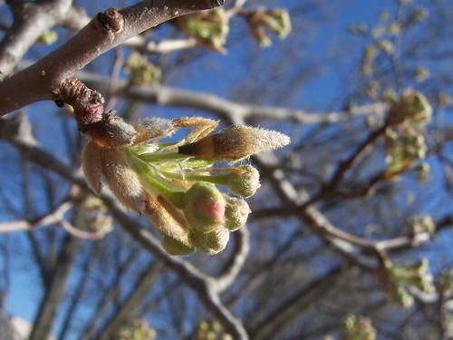Future bradford pear blossoms