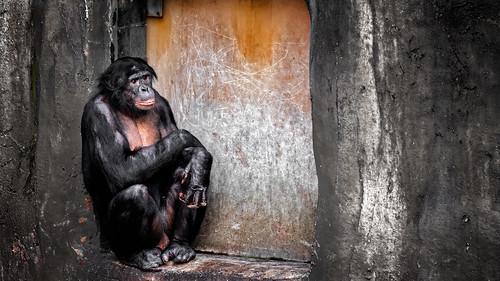 2016 animals bonobo connecticutphotography december florida jacksonvillezoo landscape landscapephotography nature naturephotography outdoors panpaniscus photography seascape unitedstates vacation zoo digital jacksonville us zoosofnorthamerica
