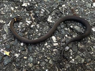 Ring-necked Snake   by magnificentfrigatebird