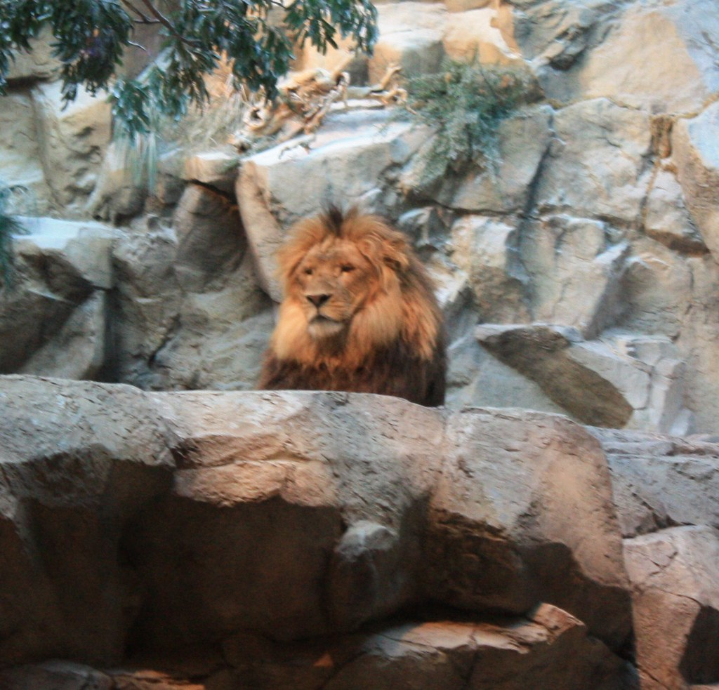 Lion Habitat The Mgm Grand Hotel Casino Las Vegas Nv Flickr