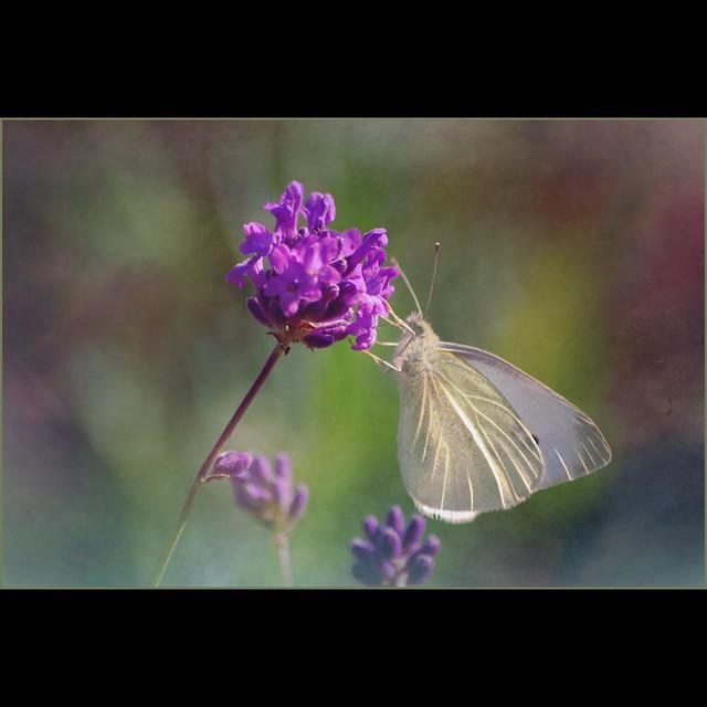 lavender kisses . . .