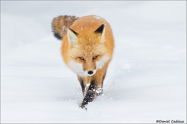 Red Fox Fresh Tracks