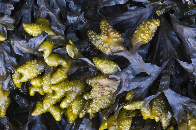 Rockweed, Fuscus gardneri