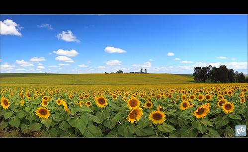 panorama flower field canon australia sunflowers killarney sunflower queensland canonef1740mmf4lusm girasol girasoles 6exp hoyapolariser 5dmkii goomburraqueenmaryfallstrip