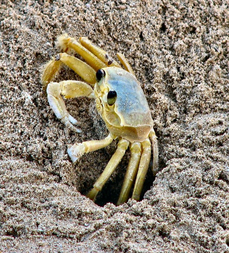 Beach Crab!