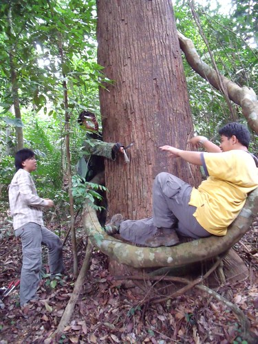 Fri, 06/26/2009 - 14:42 - Installing plastic dendrometer on a Shorea curtisii. Credit: Kang Min.