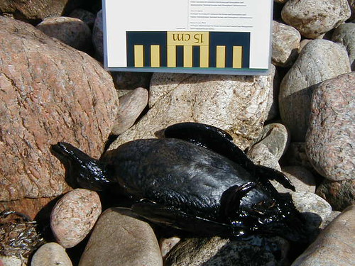 Oiled Mussel on Rock Shore – April 30, 2003