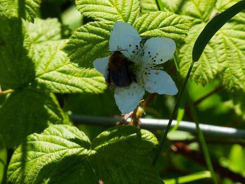 Bee on a bramble flower