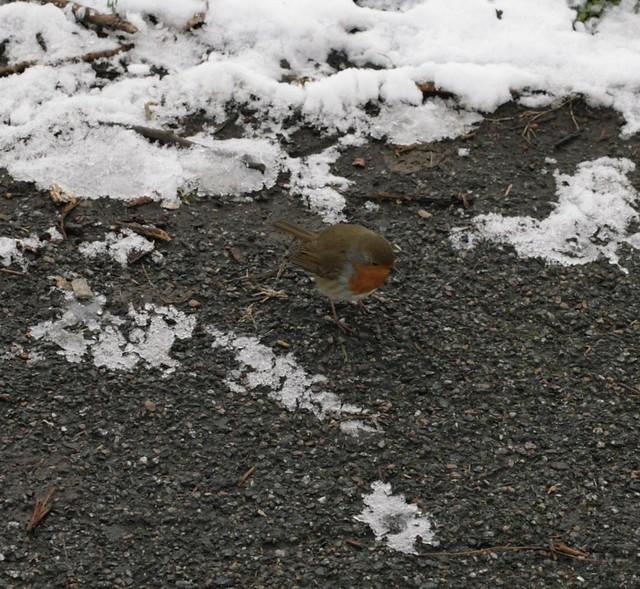robin on the rye