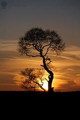 Ria's tree at sunset(2): 104/365