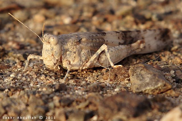 Desert Locust : جراد الصحراء | Plagues of the desert ...