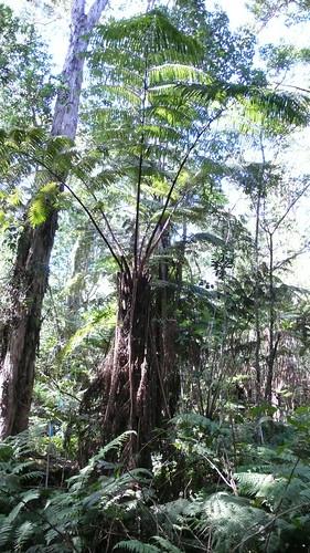 Sat, 12/13/2008 - 05:35 - Tree fern. 4-ha plot. Credit: CTFS