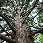 Sequoiadendron 'Hazel Smith' (4)