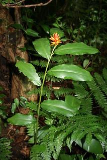Renealmia cernua (Zingiberaceae) | by Dr. Alexey Yakovlev