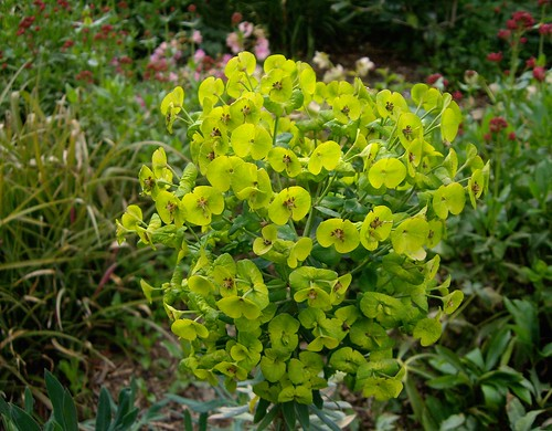 Euphorbia | by banksias