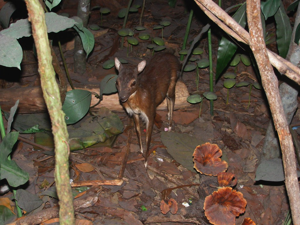 Mouse Deer | In the rainforest diorama in the Hall of Biodiv