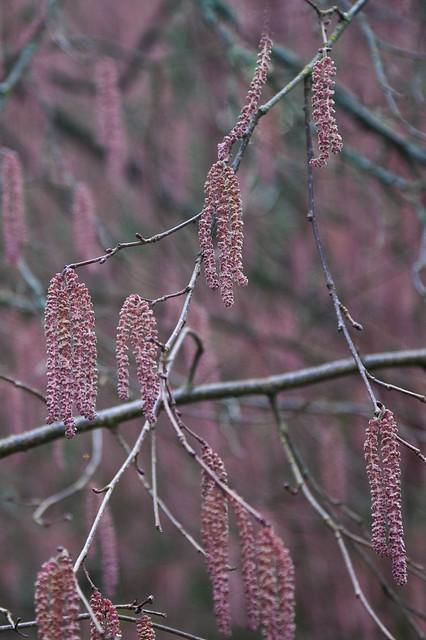 Flowers of Purple Hazel, Corylus maxima 'Atropurpurea Superba'