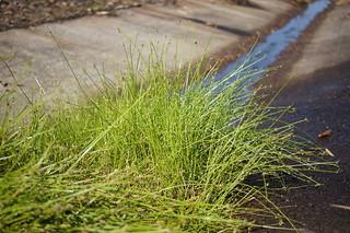 Isolepis inundata plant NC1