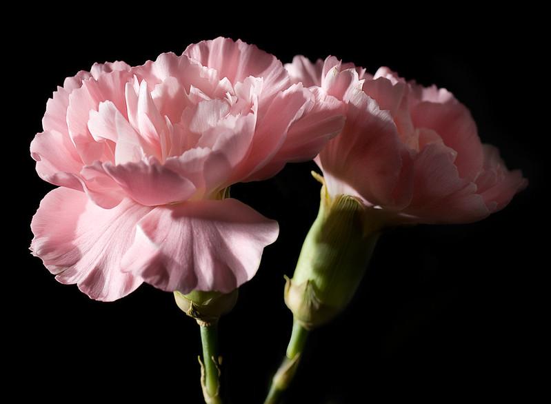 Claveles / Carnations