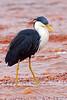 Pied Heron (Ardea picata) by Nolan Caldwell