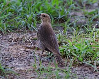 Brown-headed Cowbird female (1 of 1)