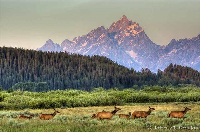 Elk under Grand Teton