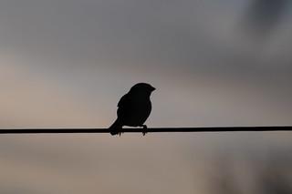 Bird on a wire | by sk8geek