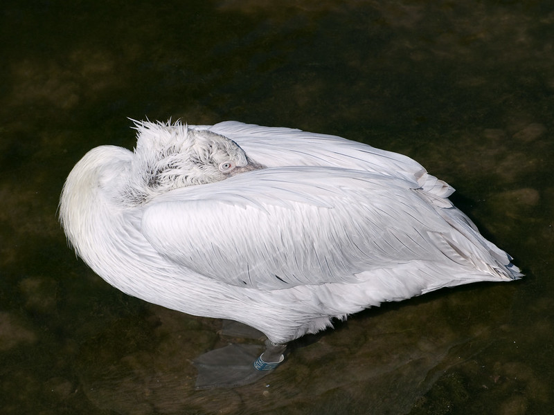 Pelikan macht Nickerchen