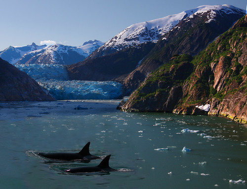 Killer Whales and a Glacier | by Rennett Stowe