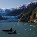 Killer Whales and a Glacier by Rennett Stowe