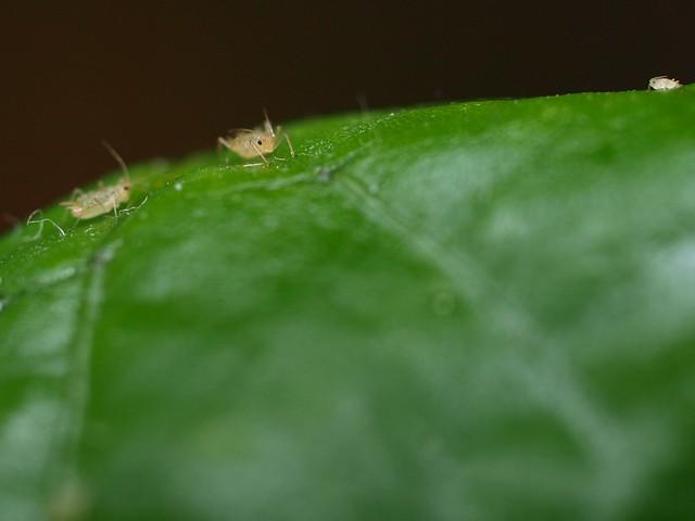 Three fleas on a leaf