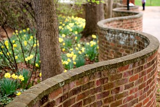 Daffodils and serpentine wall | by Vironevaeh