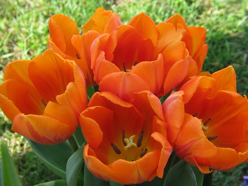 Tulips | by audreyjm529