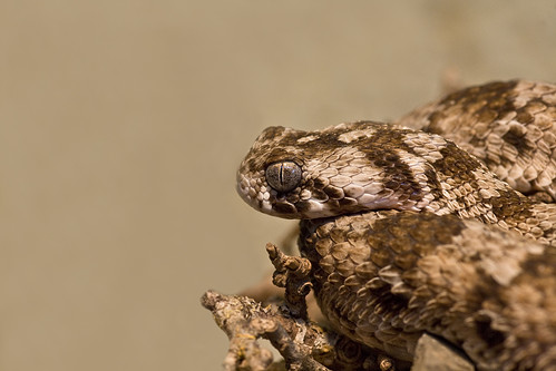 Saw-scaled Viper (Echis carinatus) | by Frupus