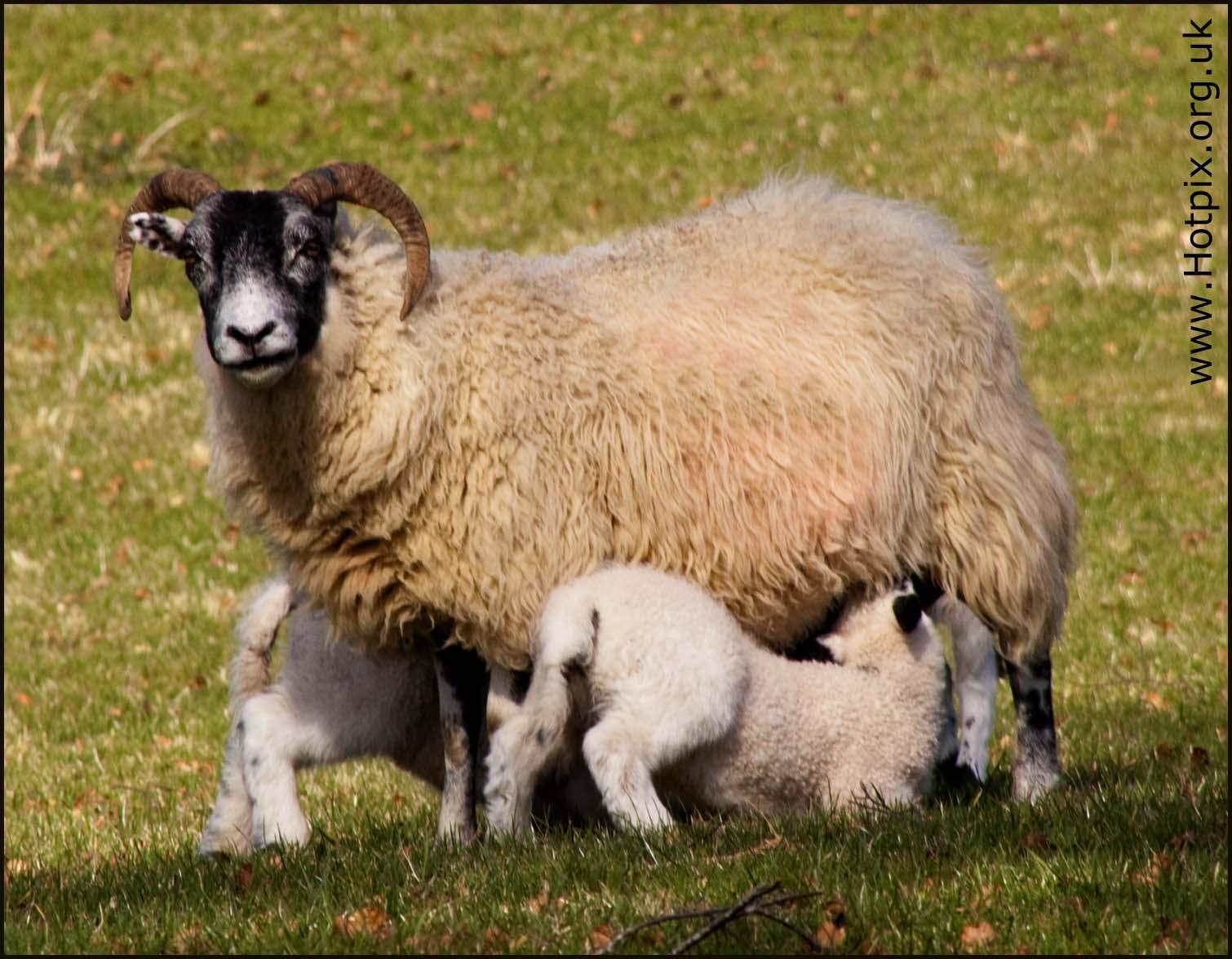 lamb,mutton,sheep,hill,farm,spring,field,green,grass,countryside lamb,countryside,lamington,lanarkshire,scotland,uk,gb,britain,hotpics,hotpix,tonysmith,feeding,milk,weening,365project,nature,natural,history,sex,sexy,edinbrugh,rural
