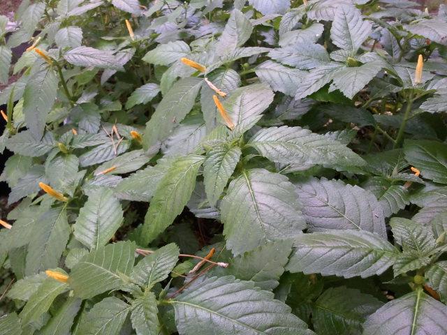 Damiana crop