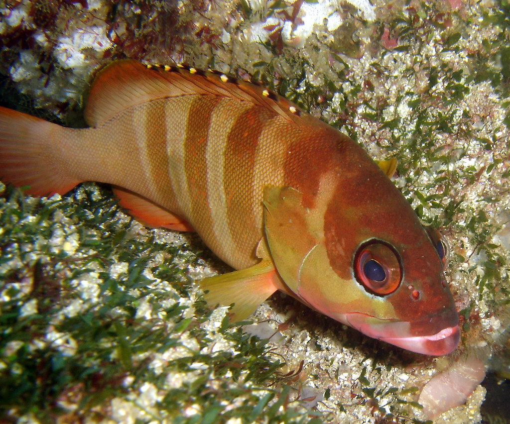 Banded Morwong   Cheilodactylus spectabilis Aquarium, Fish R
