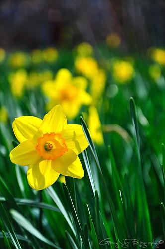 flower yellow garden spring nikon bokeh tamron vc f28 1750mm d5000 tamron1750mmf28vc mygearandmepremium