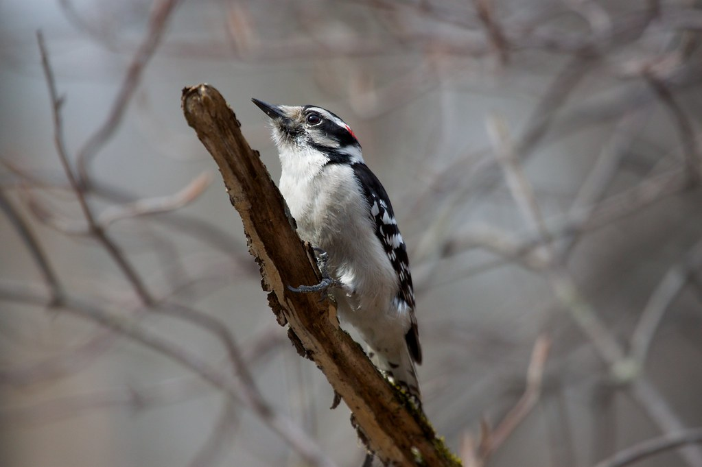 Woodpeckers Song