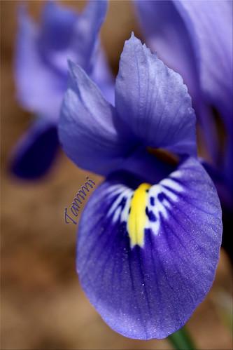 county york flowers blue iris winter flower macro canon eos spring pennsylvania flag january tammy 2010 tammi strengthfromabove
