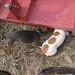 Critters love a bush hog
