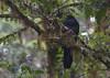 Black Guan (Chamaepetes unicolor) by macronyx
