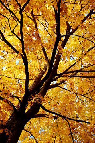 autumn tree fall nature leaves yellow sunrise golden nikon lookingup d40 jeremystockwellpix nikond40
