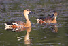 Wandering Whistling Ducks by marj k
