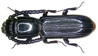 Passandra trigemina Newman, 1839