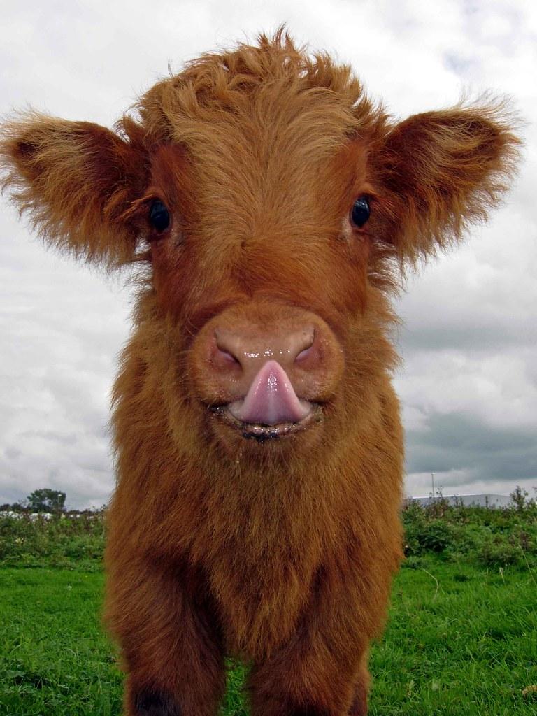 20+ Adorable Photos of Fuzzy Highland Cattle Calves