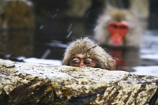 Sneaky Snow Monkey | by mctrent